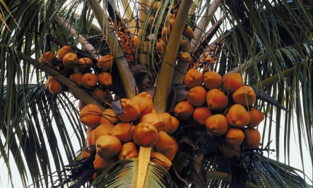 coconut palm tree - many health benefits