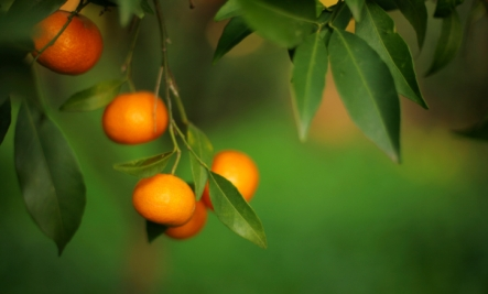 orange tree benefits