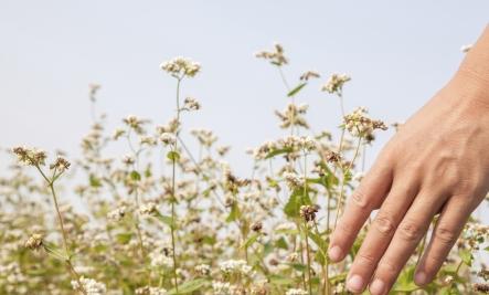 buckwheat growing Buckwheat Benefits